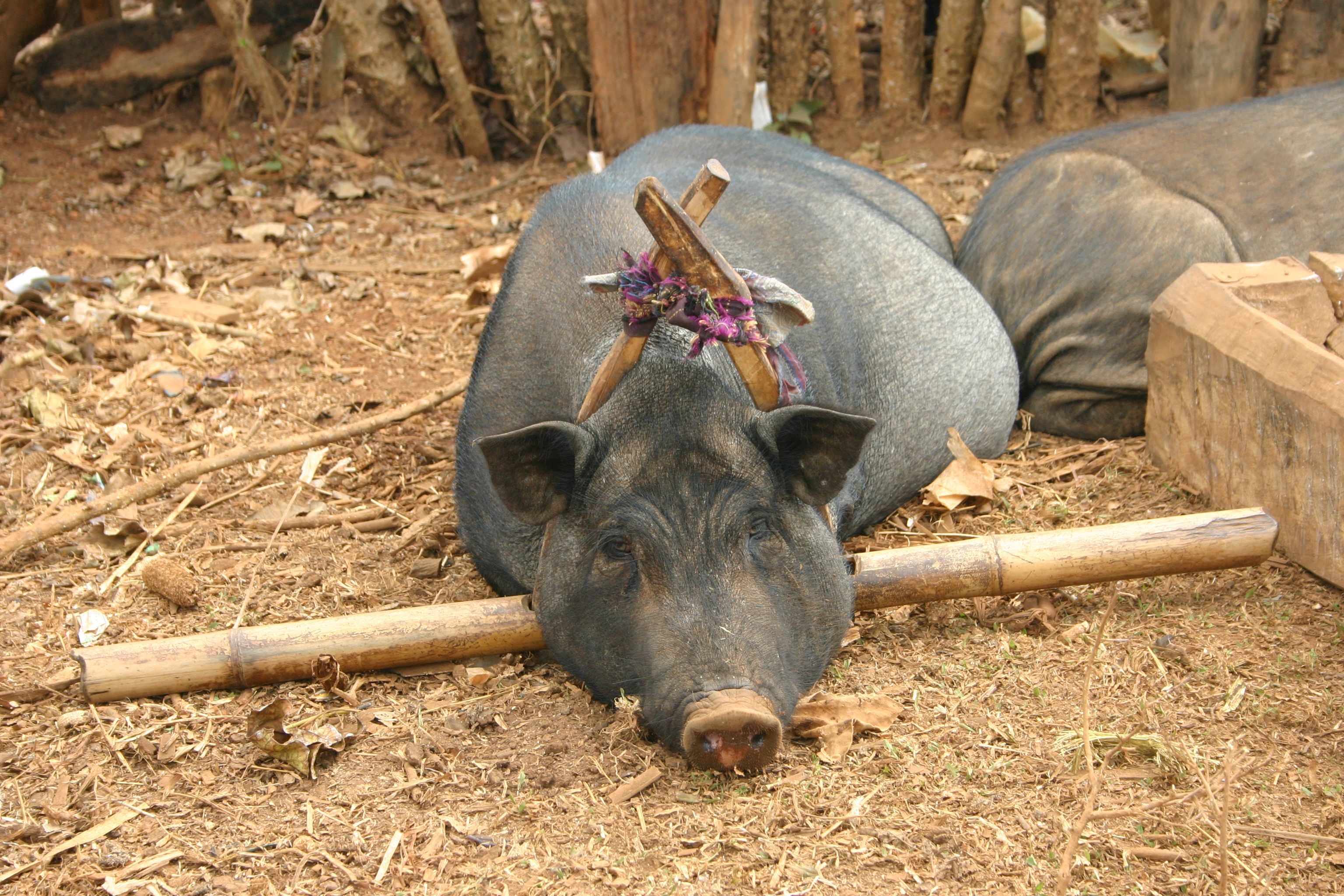 Project Sekong 2013: Do We Share Our Camp With The Pigs Or Do They Share Their Home With Us?