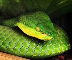 The likely species is the White-Lipped Pit Viper: Trimeresurus albolabris